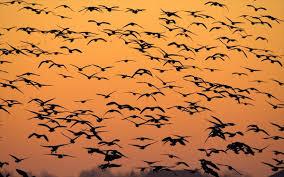 αποδημητικαΠουλιά