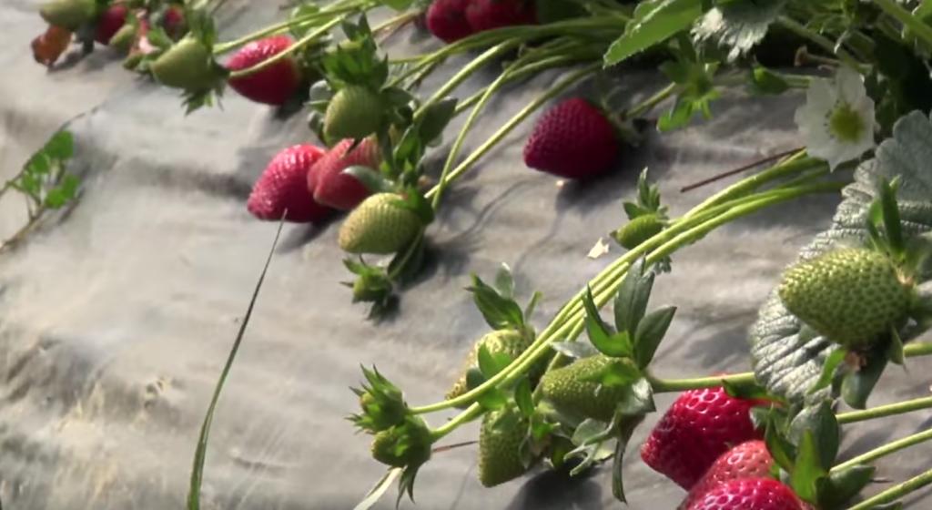φράουλεςΜανωλάδας